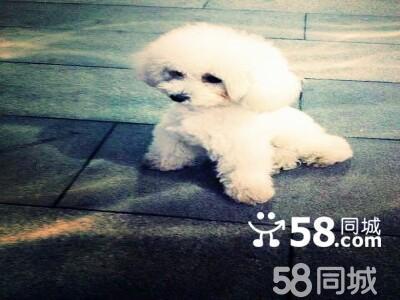 【图】白色贵宾,公 - 罗湖文锦渡宠物狗