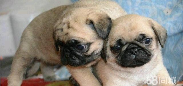 自家繁殖,实物图片,超级可爱的三个多月大巴哥犬,疫苗防疫都做过了