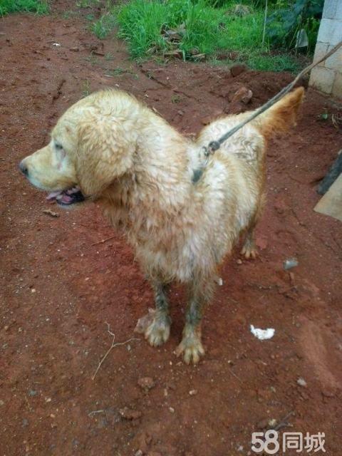 最后一只小泰迪便宜出售 可爱小狗狗找新家 贵州土狗,下司,实战猎犬.
