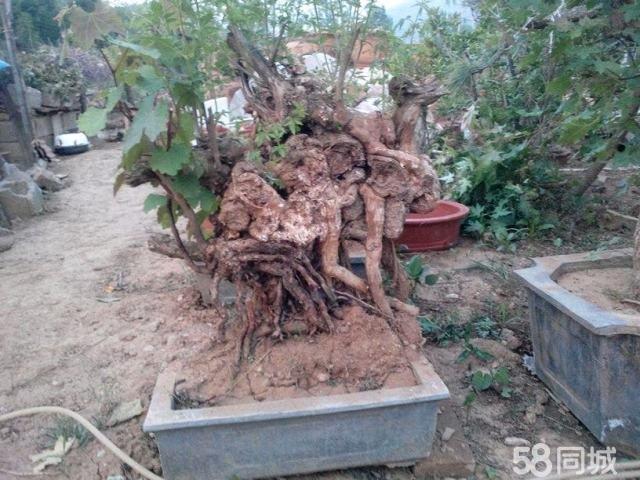 荆棵树根雕图片