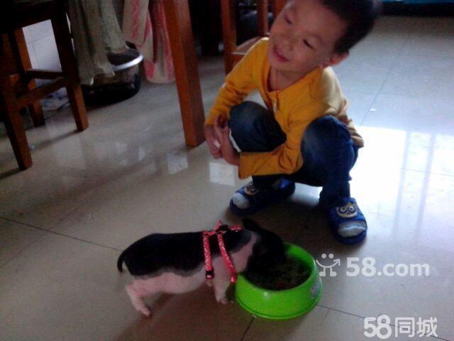 兩個月大小香豬,五斤左右,長不大的豬豬,身長現在相當于兒童玩具車圖片