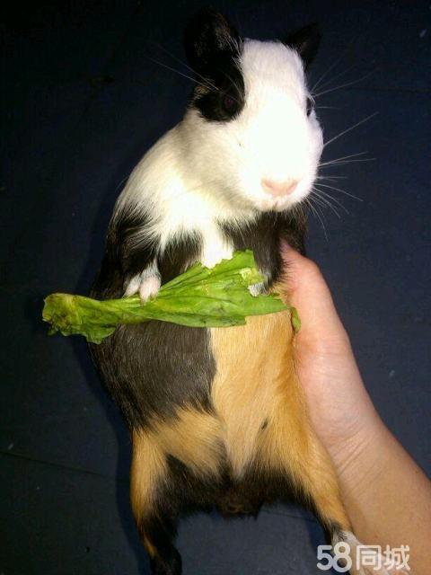 特别可爱的老鼠兔