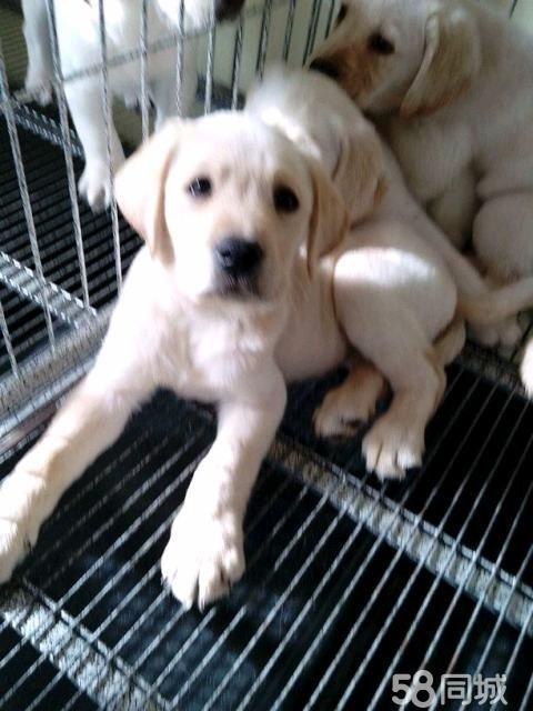 拉布拉多幼犬出售,奶白色  公母都有,快两个月了,宝宝门个个健康可爱