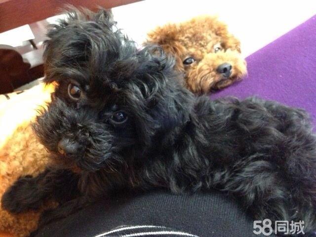 家养母小型玩具犬生的泰迪玩具黑犬