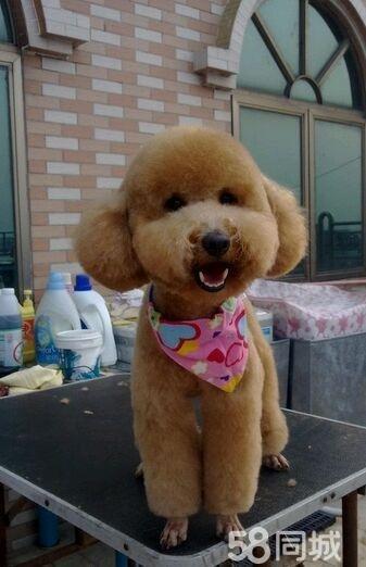 不是茶杯泰迪白送你  都是自己家养的成犬,都特价了,喜欢的可以直接