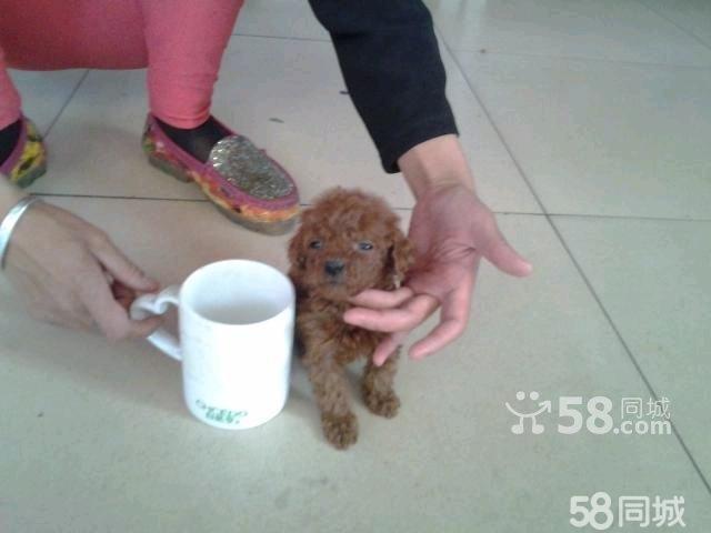 世界上最可爱杯犬狗