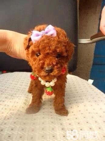 出售红色咖啡色泰迪幼犬实图自家狗下
