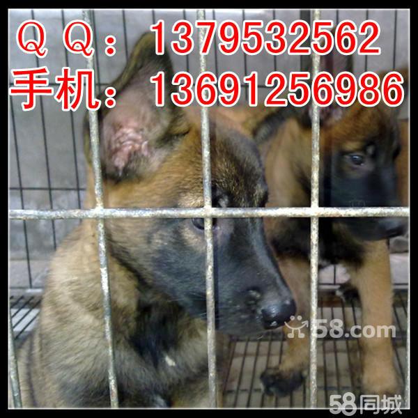【图】自家繁殖纯种比利时牧羊犬马犬幼犬出售两个月