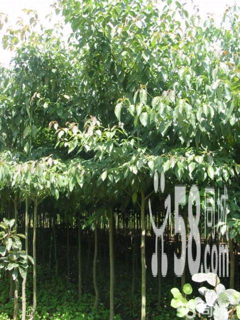 户县出售大叶女贞树,直径8~15cm,价格面议