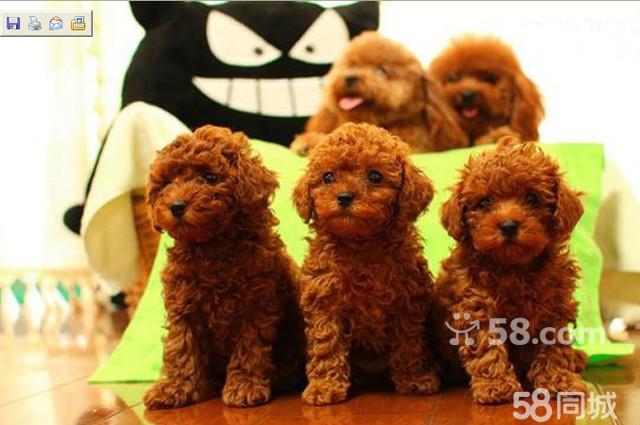 【图】出售精品纯小体荼杯/玩具泰迪熊犬-----可签