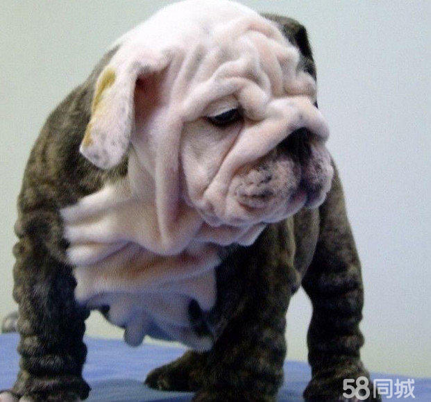 【图】纯种可爱英国斗牛犬幼犬