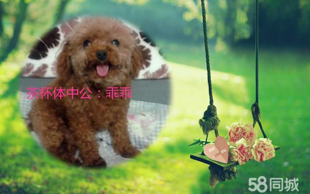 出售小泰迪狗宝宝  真正的茶杯体泰迪