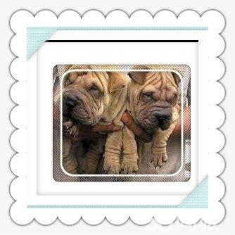 沙皮狗图标_【图】宠物狗狗出售纯种沙皮犬幼犬健康皱皮沙