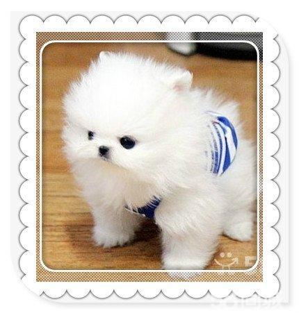 图】出售纯种博美犬博美幼犬袖珍犬长不大的茶杯犬 ...