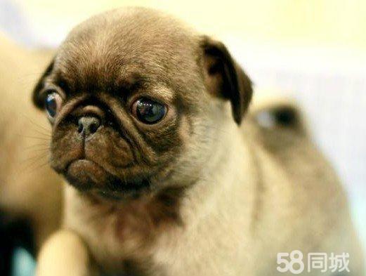 【图】纯种可爱小型犬短毛巴哥幼犬哈巴狗公母都有