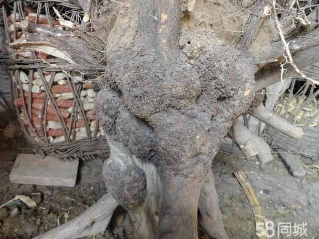 降龙木树图片_降龙木树金钱松 降龙木拐杖,对节登山杖 高清图片 降龙