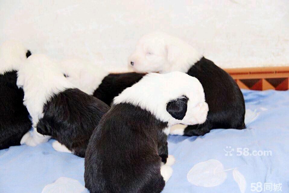 熊猫幼崽图片可爱