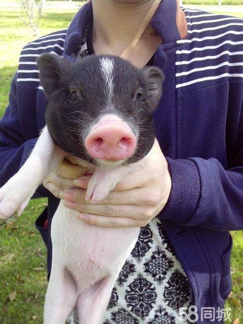 【图】巴马小香猪 大家的宠物猪