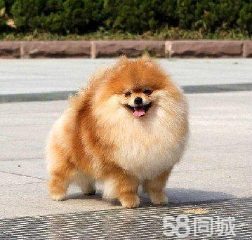 超级活泼可爱纯种哈多利球形英系博美犬