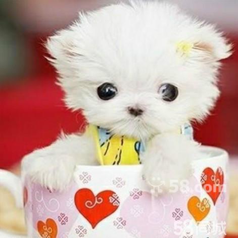 博美茶杯狗_博美茶杯犬,成年博美茶杯犬图片图片