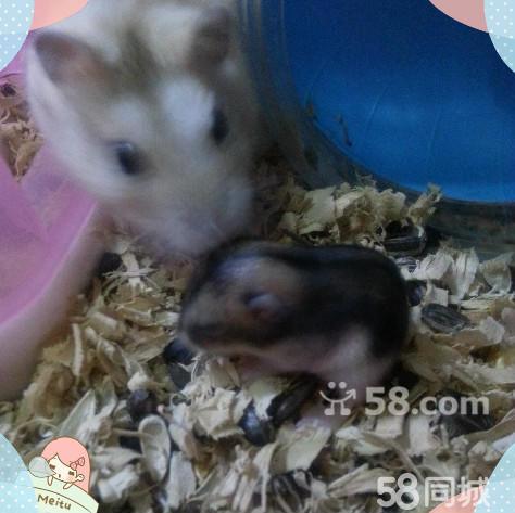 三只成年仓鼠(一只黄母两只白公)五只两周小仓鼠