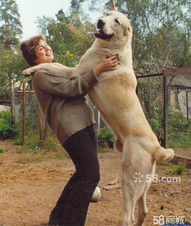 中亚是非常强大有力的运动型品种,是藏獒的近亲.至今仍作为家畜的护卫犬使用。中亚是毫无畏惧任何生物的犬种。中亚牧羊犬和中亚的通常都是剪耳的,在它们的发源地需要断尾,这是因为它们要保护当地人的家畜,为此,它们经常要和其他的掠食动物打斗。没有剪耳的耳朵或是未断尾的尾巴很可能会被撕裂,甚至会产生非常巨大的影响,经过裁剪的耳朵可以防止失血,从而保住性命。狗在耳朵上至少会有一条很粗的静脉血管,一只被撕裂的耳朵对狗的生命是一个极大的威胁,因为这可能会导致大量失血。 联系我时,请说是在58同城看到的,谢谢!