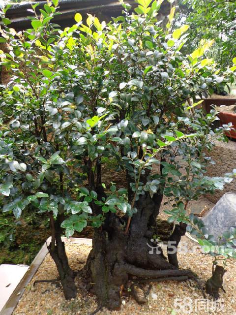 红碎茶树盆景图片