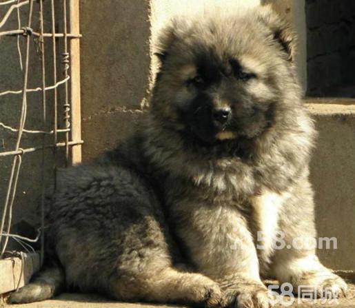 世界体型最大的六种狗图片   排名