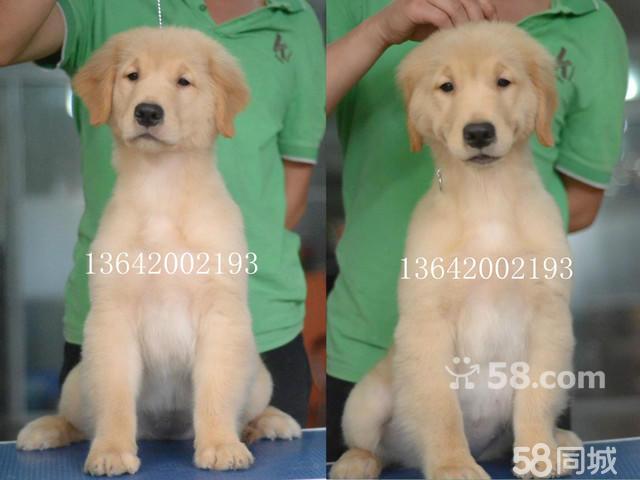 【图】巨星犬舍罗宾女儿的金毛幼犬出售父母都有dna