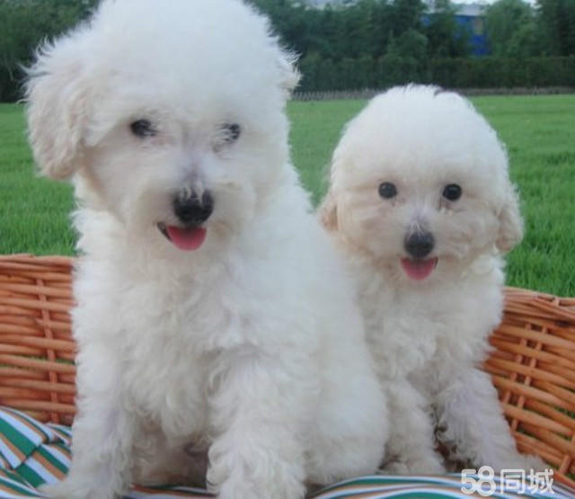 南京建邺出售白色可爱的泰迪犬 萌萌的 看到就想抱