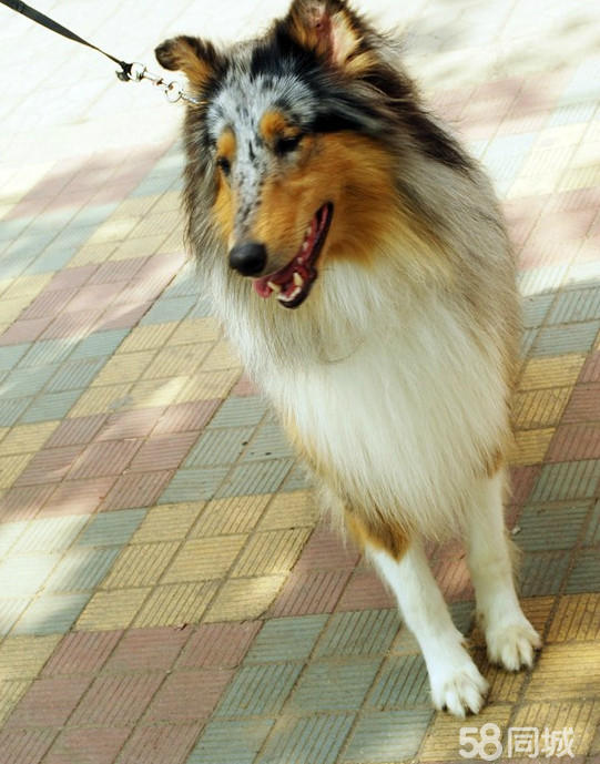 色女和公狗�9��yl#�+_苏格兰牧羊犬,云石色,公.配狗