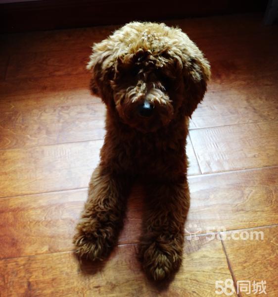 纯家mini玩具泰迪,狗狗极聪明可爱