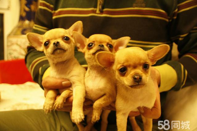 【图】自家繁育的吉娃娃狗-活泼机警,体型小,食