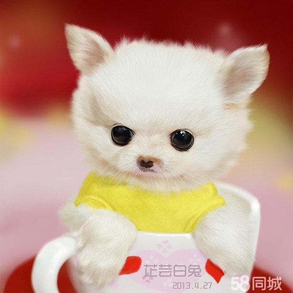 【图】求购一只白色茶杯犬