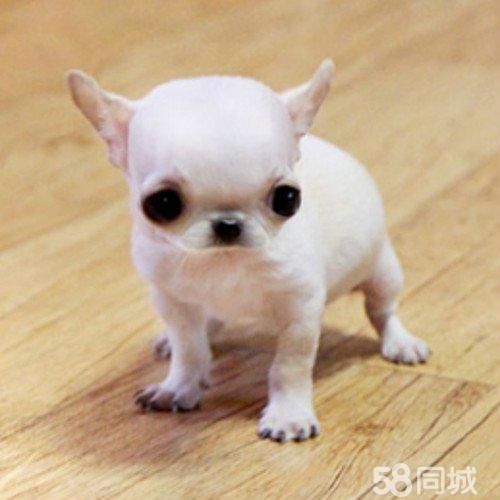 【图】自己养吉娃娃刚生一窝狗宝宝 - 天桥三孔