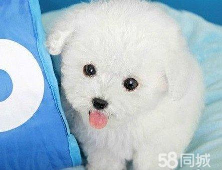 【图】白色小茶杯犬 白色泰迪犬多少钱