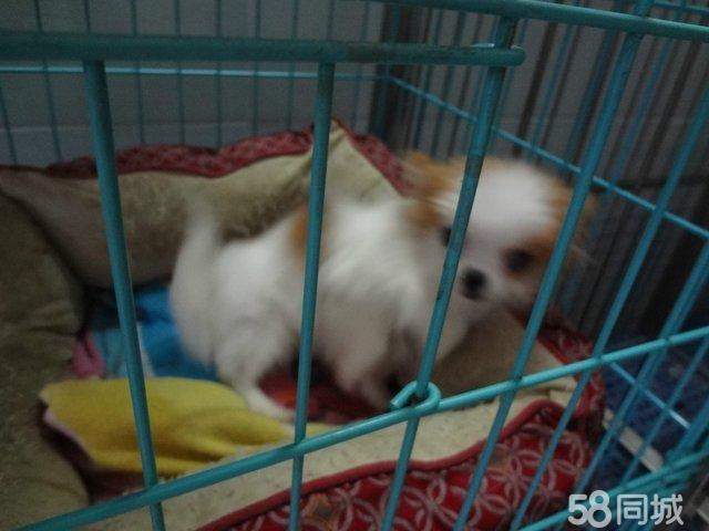 世界上最小的狗狗吉娃娃可爱活泼长毛
