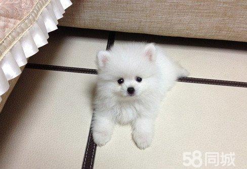 白色球型哈多利宝宝 茶杯犬 白色博美幼犬 犬舍推荐