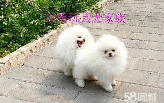 【图】华美贝儿玩具犬家族 - 通州梨园宠物狗