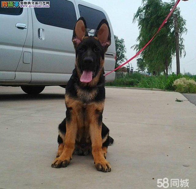 中国最大狼狗_中国最大的黑社会_中国最大_中国最大 ...