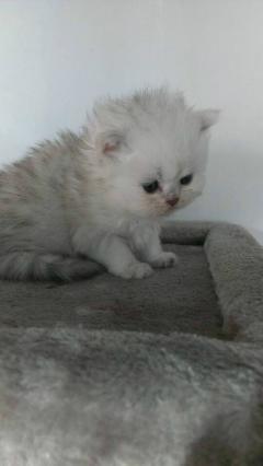 刚出生一个月的金吉拉小猫