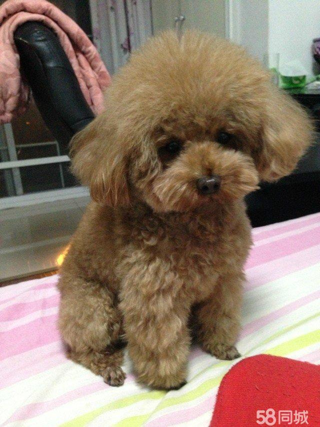 纯种泰迪犬 多种颜色选择_发型设计