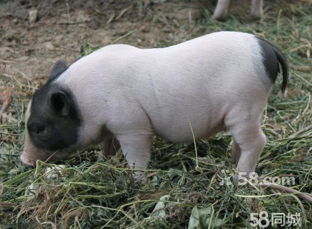出售 宠物猪,体形小,活泼可爱 学名:巴马香猪